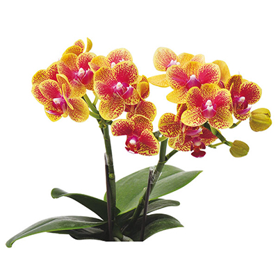 Taida Little Monkey A08591 - Phalaenopsis