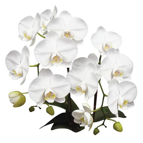 Amabilis A09001 - Phalaenopsis