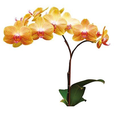 Taida Pride Queen 'Taida Orange' A09302 - Phalaenopsis