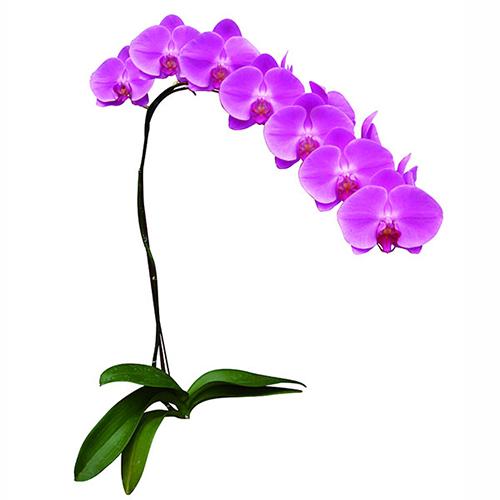 Sogo Davis A06949 - Phalaenopsis