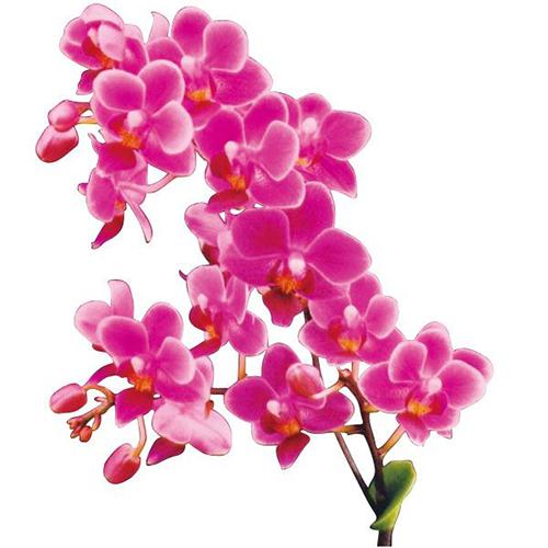 Zuma's Pixie 'Taida Little Cute' A03897 - Phalaenopsis