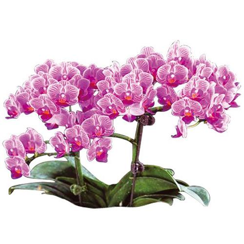 Sogo Vivien A06086 - Phalaenopsis