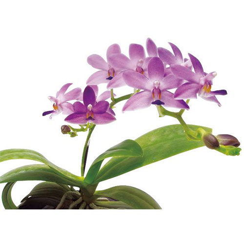 Kenneth Schubert 'Taida Violet' A06255 - Phalaenopsis