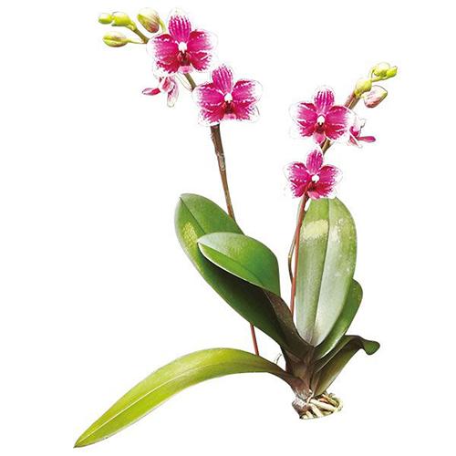 Taisuco Micky 'Taisuco' A07712 - Phalaenopsis