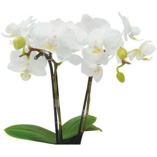 Timothy Christopher A08075  - Phalaenopsis