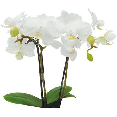 Timothy Christopher A08075  - Phalaenopsis