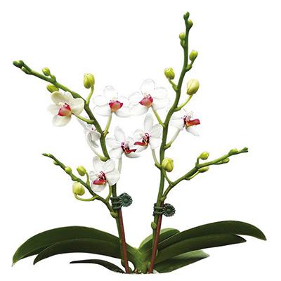Taida Peoker 'Taida Ailisi' A08202 - Phalaenopsis