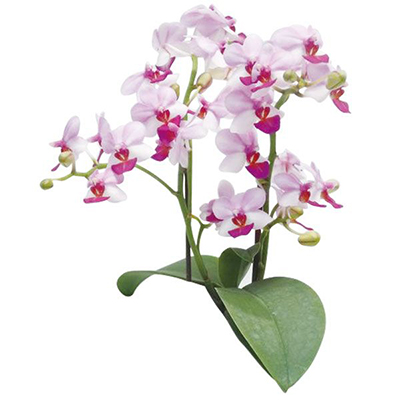 Liu's Berry A08640 - Phalaenopsis