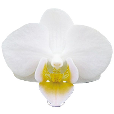 Younghome Little Snow A08784 - Phalaenopsis