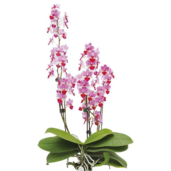 Liu's Cute Angel A09996  - Phalaenopsis