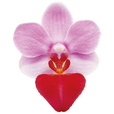Liu's Cute Angel A09996  - Phalaenopsis
