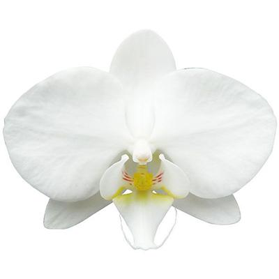 Fong tin's Amapearl A10040 - Phalaenopsis