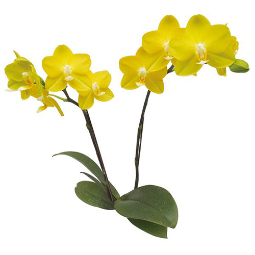 Hwu-Ann Golden 'Taida Honey' A10318 - Phalaenopsis