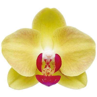 Taida Apollo A10045 - Phalaenopsis