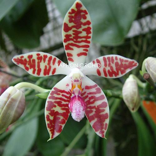 P.corningiana
