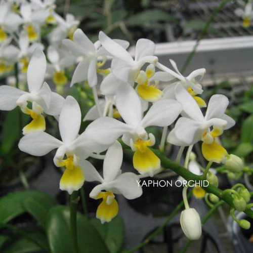P.equestris-var.alba-'yellow-lip'