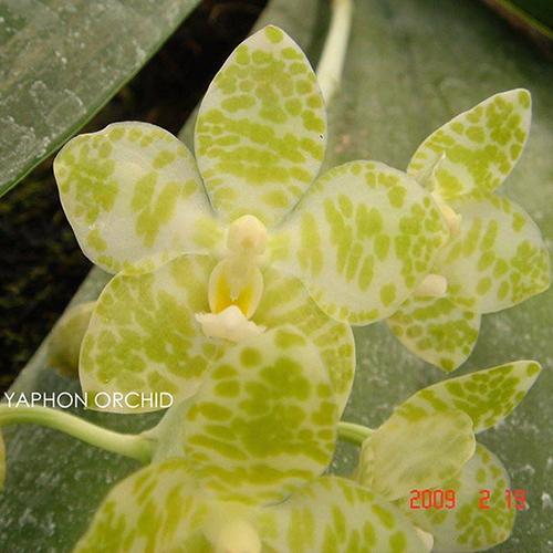 P.gigantea-var.alba'Ta-Wei'