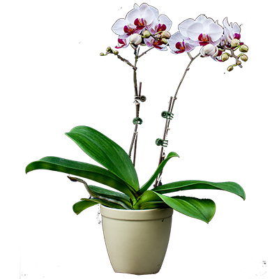 Orchid No1