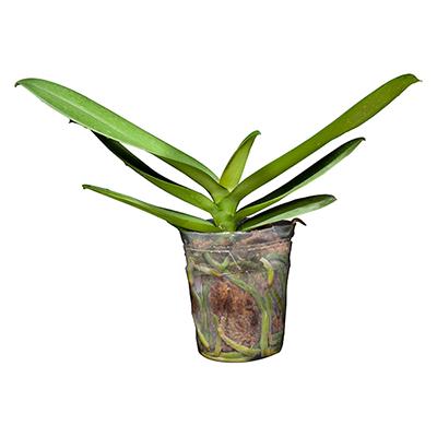 Orchid V3L