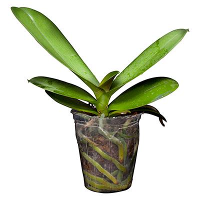 Orchid V3M
