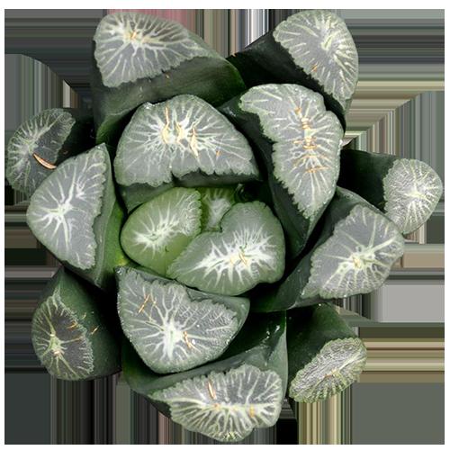 Haworthia Maughanii 'Yukiguni'