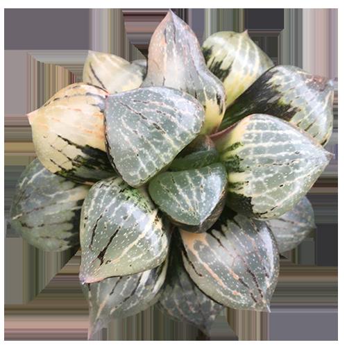 Haworthia Comptoniana 'Nagaoka'  Variegated