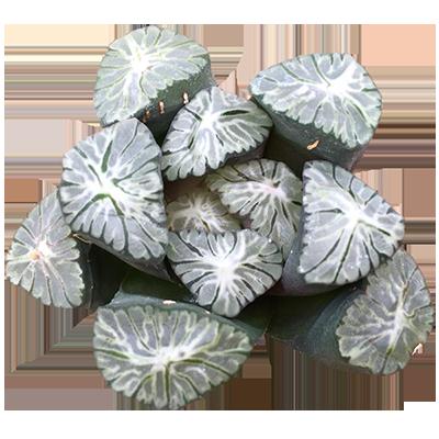 PHM-AJ-ZH-TM69 Haworthia Maughanii