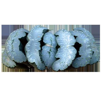 Haworthia Truncata 'Mammoth'