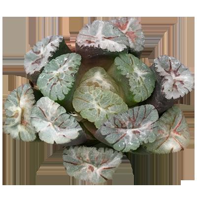 Haworthia Maughanii 'Z-1'