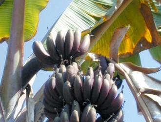香蕉黃葉病 肆虐全球