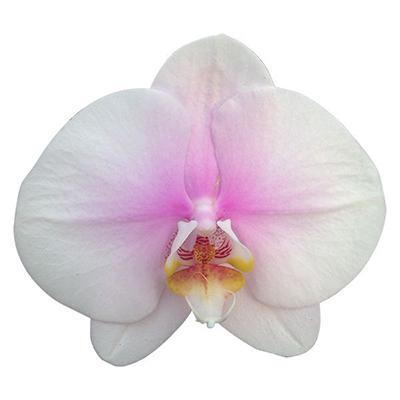 Phalaenopsis Pot Plant 039(CH)