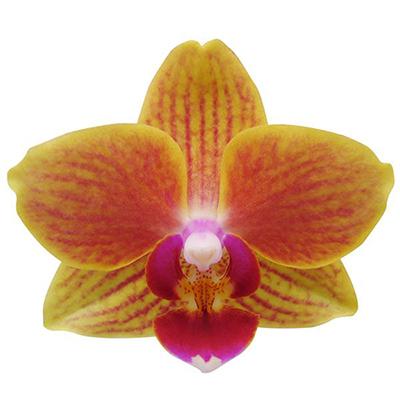 Phalaenopsis Pot Plant 2059(F)