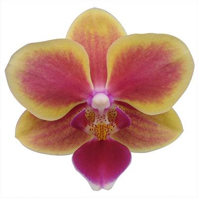 Phalaenopsis Pot Plant 2451(F)