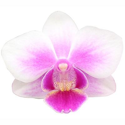Phalaenopsis Pot Plant 2598(F)