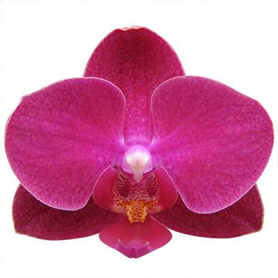 Phalaenopsis Pot Plant 2702(F)