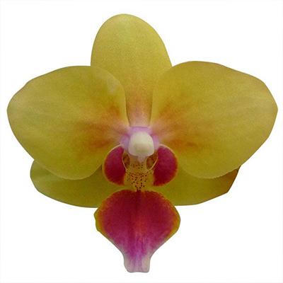 Phalaenopsis Pot Plant 2722(F)