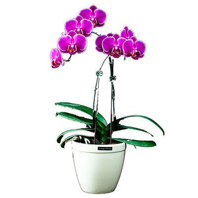 FS-102-Phalaenopsis