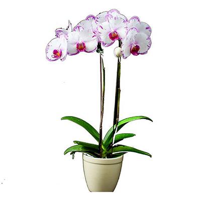 FS-101 Phalaenopsis