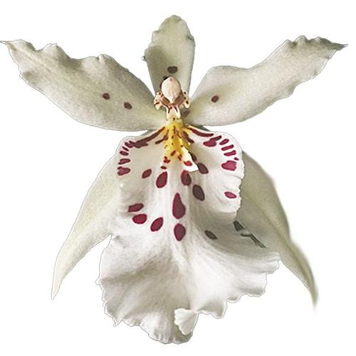 Bllra. Topic Lily 'Chocolate Drop'