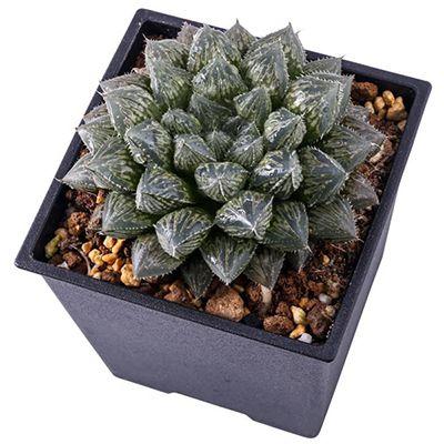 Professional Haworthia, Cactus, Succulent Tissue Culture