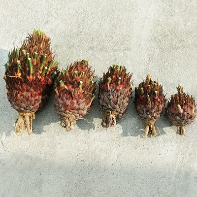 Cycas Revoluta Bulbs - Size: 8-16cm of Diameter