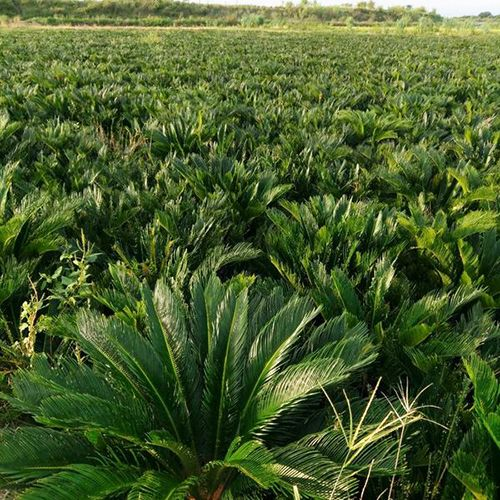 Cycas Revoluta Bulbs in Field