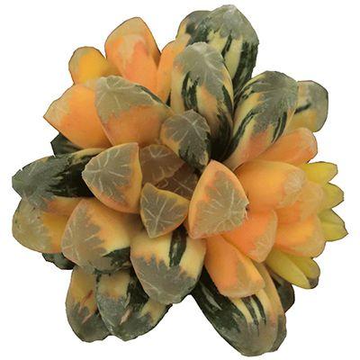 Haworthia Maughani Var sp01#