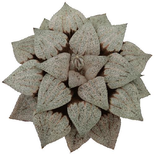 Haworthia Splendens Hyb. spx104#