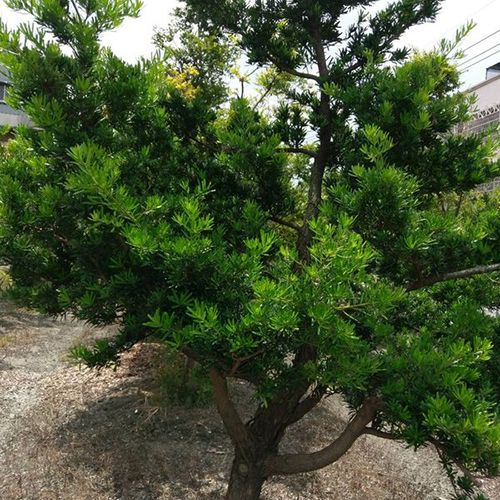 Podocarpus Macrophyllus (small leaf)
