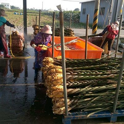 Pachira plants washing