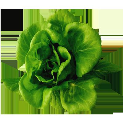 Green Butter Head Lettuce