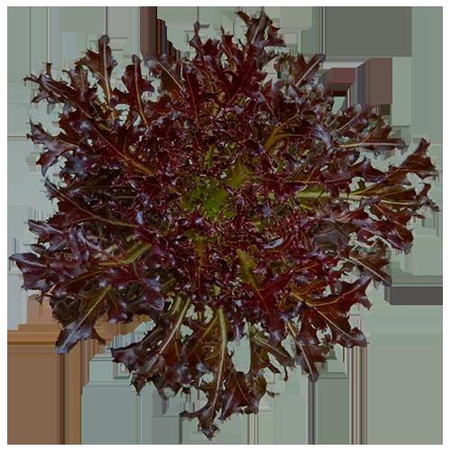 Red Fire Lettuce