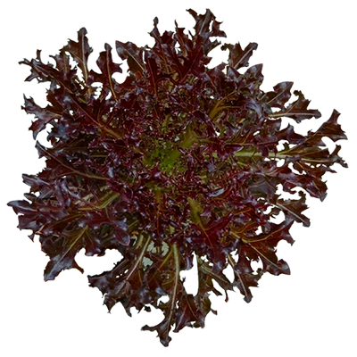 Red Fire Lettuce