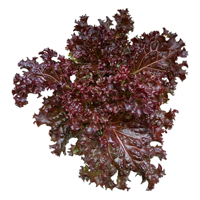 Red Lollo Lettuce